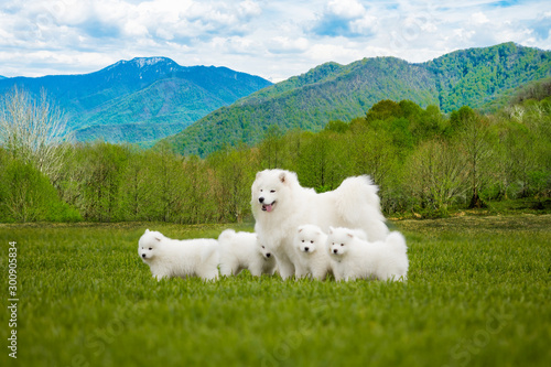 Samoyed  dog with puppies Canvas Print