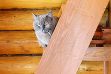 Portrait Of A Gray Cat Sitting On A Wooden Staircase In A Log House.