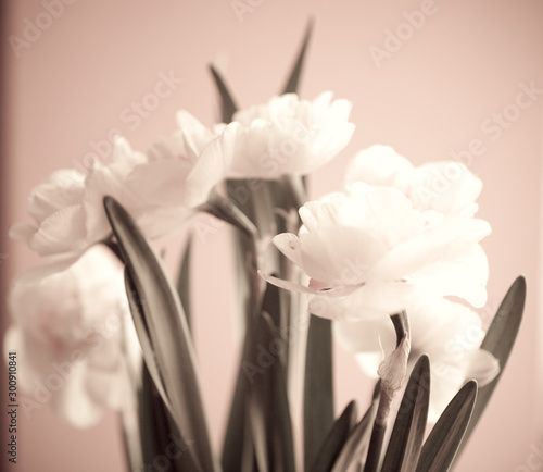 Fototapety, obrazy: Close-up of  spring yellow daffodil flower on light background