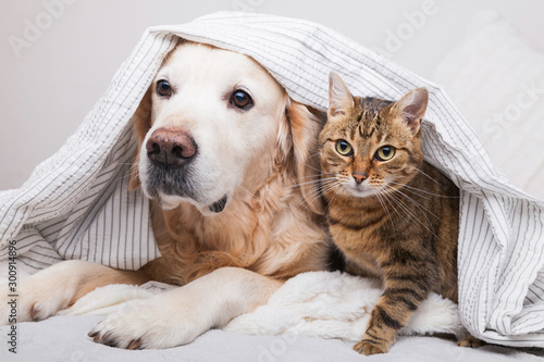 Pinturas sobre lienzo  Happy young golden retriever dog and cute mixed breed tabby cat under cozy  plaid