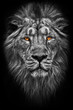 Contrast black and white photo of a maned (, hair) powerful male lion in night darkness with bright glowing orange eyes, isolated on a black background
