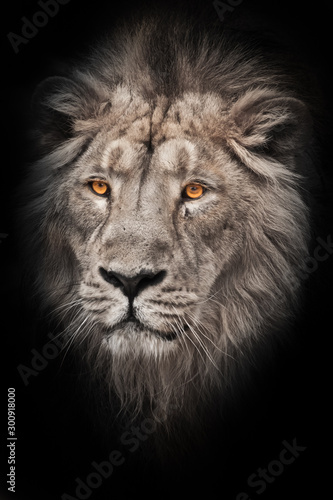 Fototapety, obrazy: bleached photo of a maned (grv), hair of a powerful male lion in night darkness with bright yellow eyes, isolated on a black background