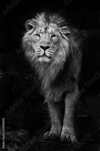 Fototapeta Black and white minimalistic noir photo of a man with  powerful male lion in night darkness, isolated on black background obraz na płótnie