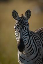 Close-up Of Plains Zebra Head And Shoulders