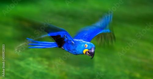 Photo sur Toile Brésil Hyacinth Macaws in flight. South America. Brazil. Pantanal National Park.