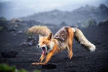 Funny Red Fox Stretches. Conce...