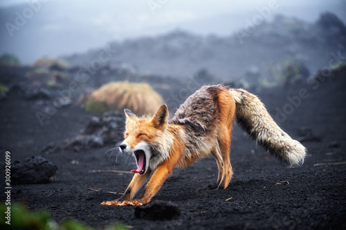 Funny red fox stretches. Concept - funny animals in the wild Canvas Print