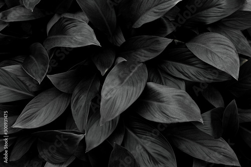 Wall mural - monochrome leaves nature  background, closeup leaves texture, tropical leaves