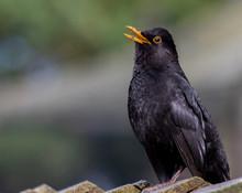 Close-up Of A Male Blackbird(T...