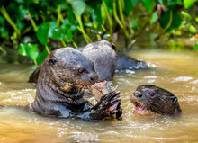 Giant Otters Eats Fish In Wate...
