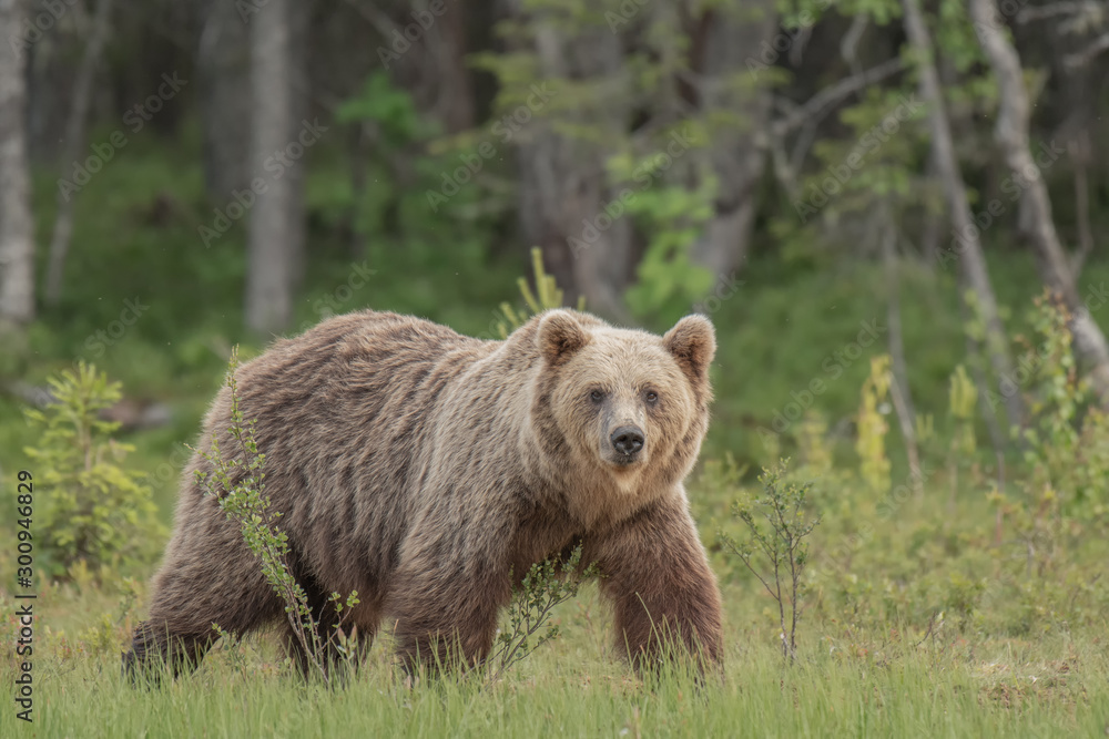 Fototapety, obrazy: Brown bear (Ursus arctos) walking on a Finnish bog on a sunny summer evening