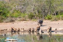 Wild Warthog, At Watering Hole, Up Close,