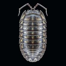 Brown Larvae