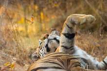 Brown Tiger Lying On Ground