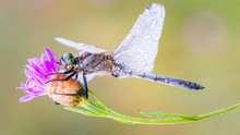 Purple Dragon Fly