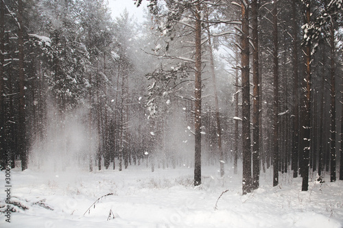 Aluminium Prints Landscapes beautiful coniferous forest littered with the first snowfall