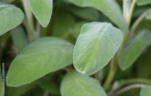 Valokuva pianta di salvia