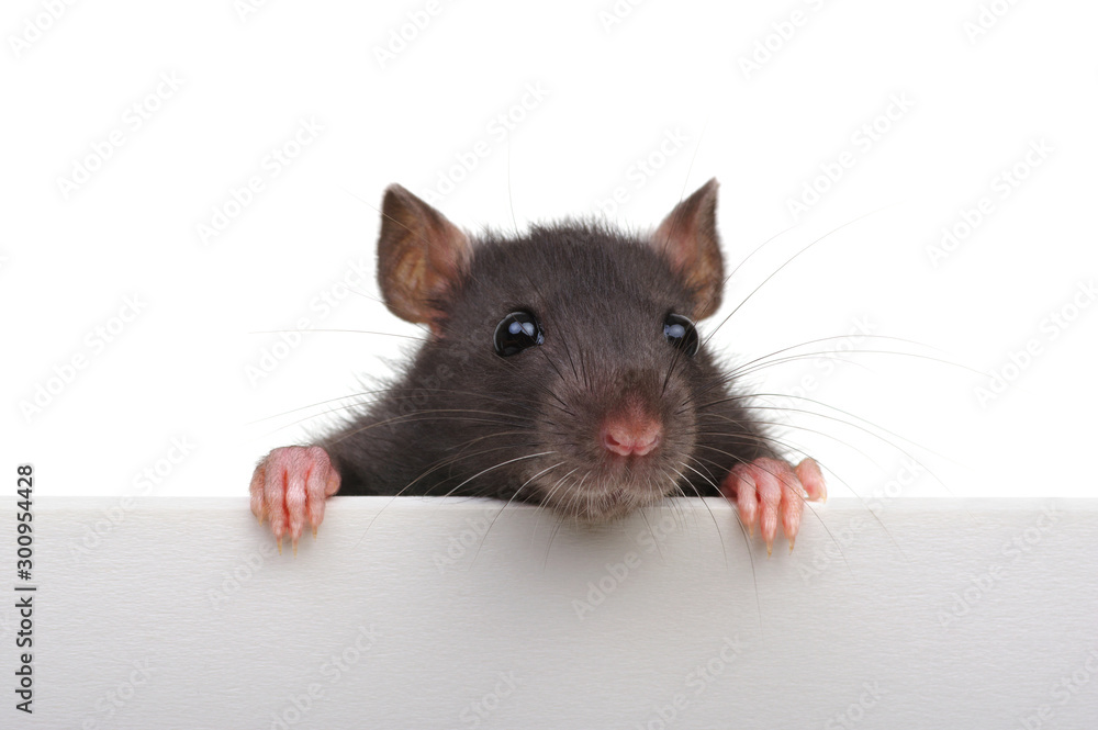 Fototapety, obrazy: Funny rat isolated on white background.