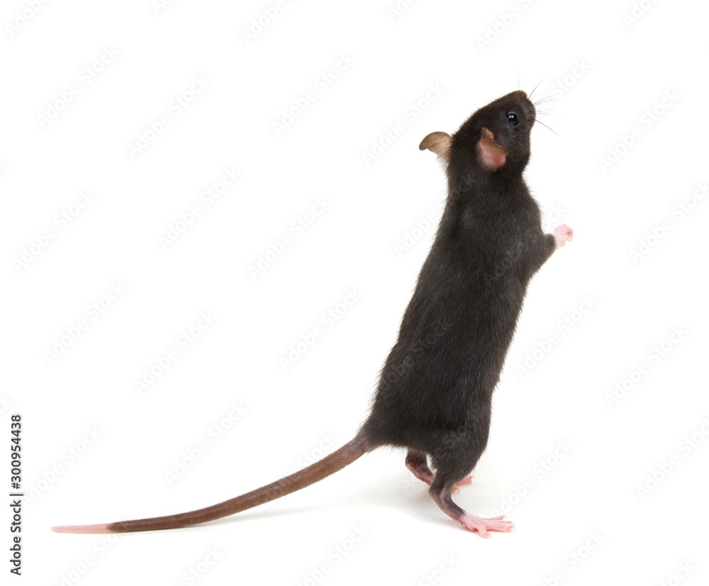 Fototapety, obrazy: black rat isolated on the white