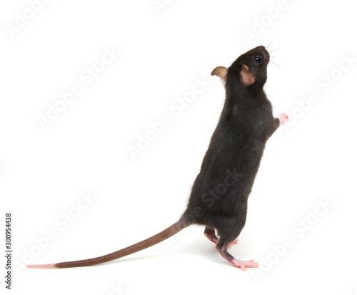 fototapeta na ścianę black rat isolated on the white