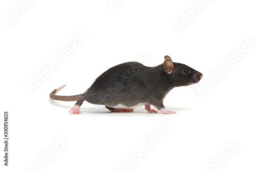 Fotografía Rat isolated on white background