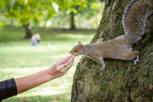 Gray Squirrel Eats Walnut From...
