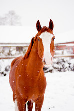 Beautiful Chestnut Red Horse P...