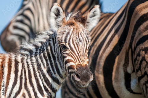 Canvas Zebra foal with family, tender moment, loving caring