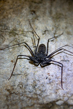 A Tailless Whip Scorpion, Also...