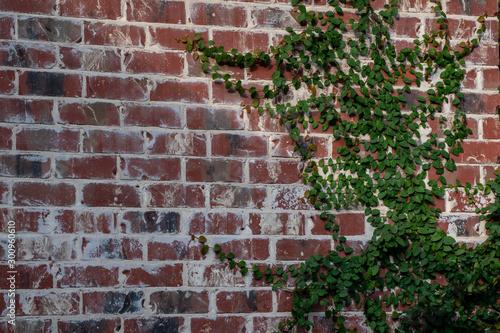 A green vine grows up a nice brick wall. Bokeh.