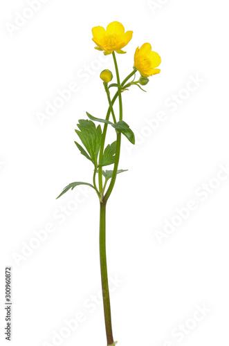 Photo Meadow buttercup ( Ranunculus acris) flower