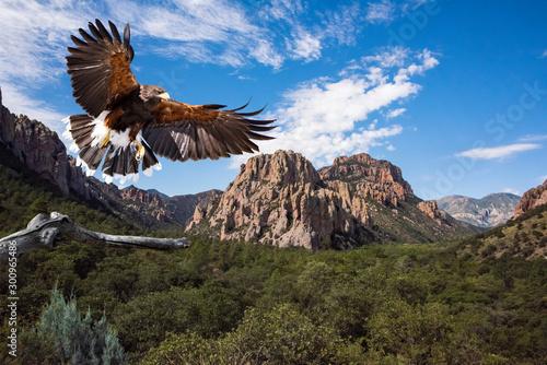 Harris's Hawk (Parabuteo unicinctus) in Flight Preparing to Land Canvas Print