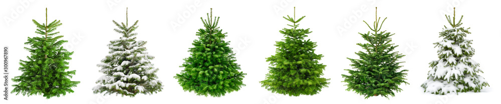 Fototapety, obrazy: Set of 6 studio shots of fresh gorgeous fir trees in lush green for Christmas, without ornaments, isolated on pure white