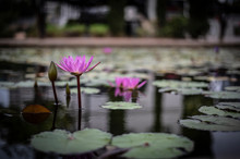 Bright Purple Lotus In A Pond Surrounded By Green Leaves In The Water