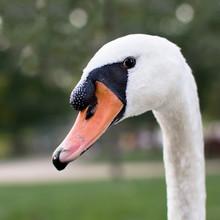 Portrait Od Elegant Swan Close Up