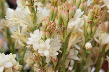 Polianthes Tuberosa The Pearl White Flowers