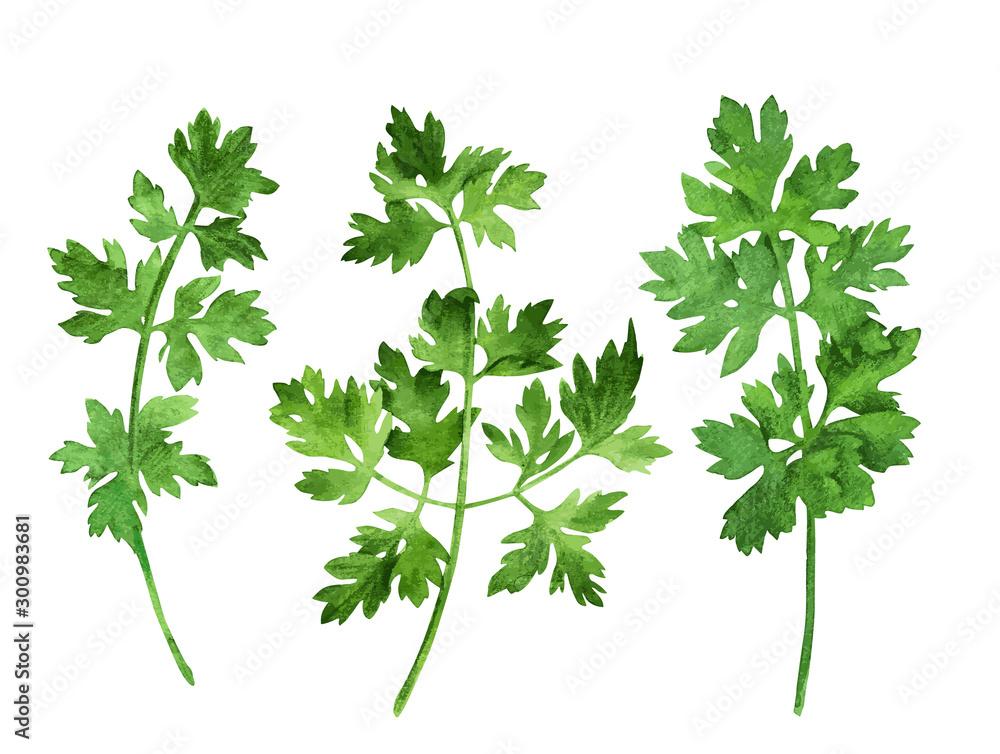 Fototapeta Parsley, three stems with leaves, hand drawn