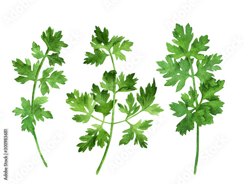 Fototapeta Parsley, three stems with leaves, hand drawn obraz
