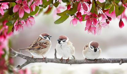 Panel Szklany Zwierzęta natural beautiful background with three small funny birds sparrows sitting on a branch blooming with pink buds in a may spring garden