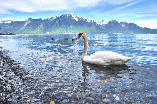 Cisnes en el lago Lemán, Suiza Canvas Print