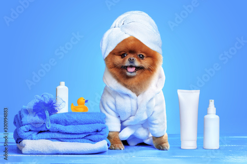 Valokuva Spitz after bathing  in a bathrobe and towel turban
