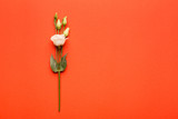 White eustoma flower on a bright, coral background. The concept of writing a letter.