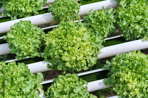 Obraz Organic hydroponic vegetable cultivation farm - fototapety do salonu