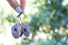 Ugly Plum, Concept Is Not Ideal Fruit Ideas