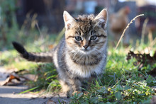 Gray Fluffy Cute Cat Sitting In The Grass, Autumn Time, Blurred Background, Animal Portrait