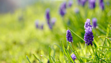 Beautiful Grape Hyacinths, Purple Flowers Close-up With Sunshine In Spring.