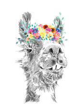 Llama With Flower Arrangement On Head In Funny Animal Art Collage In Watercolor, Hand Drawn Pencil Sketch Illustration, And Flower Images. Colorful Fun Cartoon Character In Nature Design.