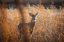 Young Whitetail Buck In Field ...