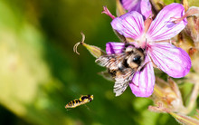 2 Bees And A Pink Flower