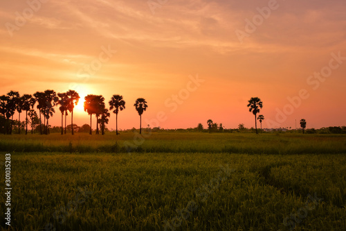 Keuken foto achterwand Oranje eclat Landscape with rice fields and black silhouette sugar palm at sunset time in Thailand countryside
